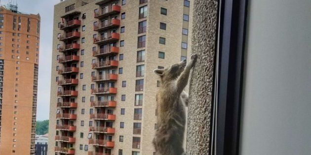 スパイダーマンか?いや、アライグマだ。高層ビルの壁を23階まで登る