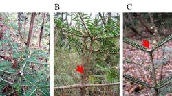 福島第一原発付近でモミの木の生育異常が増加、98%の場所も