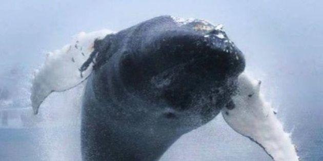 「クジラが空を飛んだ!」ザトウクジラの信じられない跳躍をカメラが捉えた(動画)