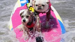 びしょ濡れワンコ、波に乗る。犬のサーフィン世界大会が楽しそう