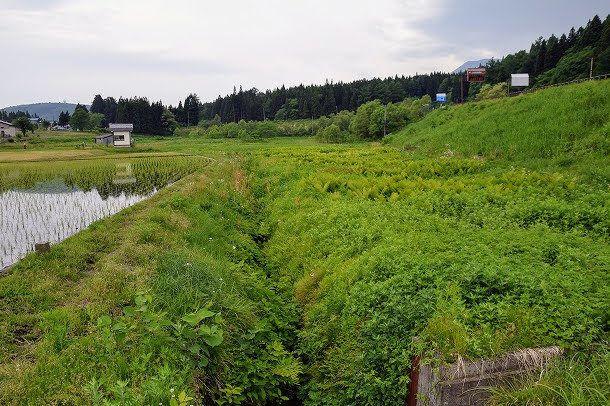 かつては一面水田だった場所。米を作る人が少なくなり耕作放棄地が広がる。近隣で米を作っているのは我が家だけだ。カエルの大合唱もずいぶんと小さくなった。