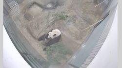 上野動物園がシャンシャンのライブ配信を開始 シャンシャン探しが楽しい