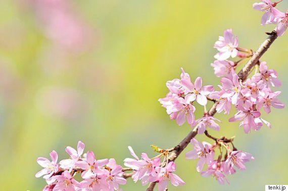 七十二候「桜始開(さくらはじめてひらく)」。お花見シーズンの開幕です