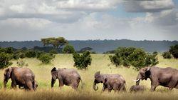 象牙求め密猟、アフリカゾウの減少止まらず/2000万頭から35万頭へ。問われる人類の智