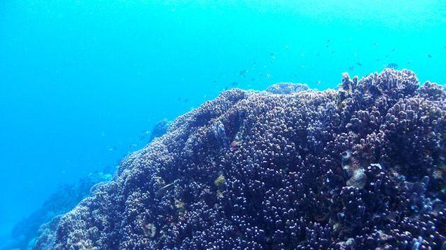 大浦湾のアオサンゴ(日本自然保護協会提供)