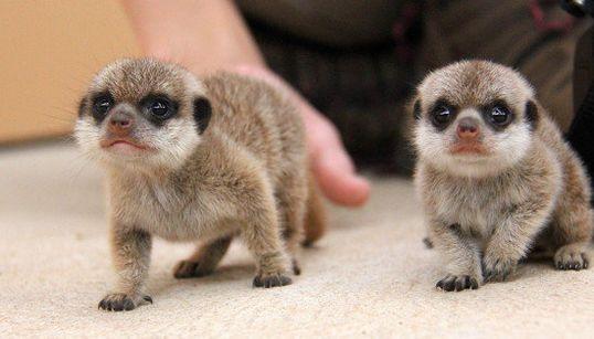 ミーアキャットの双子が、この世のものと思えないほど可愛い(画像集)