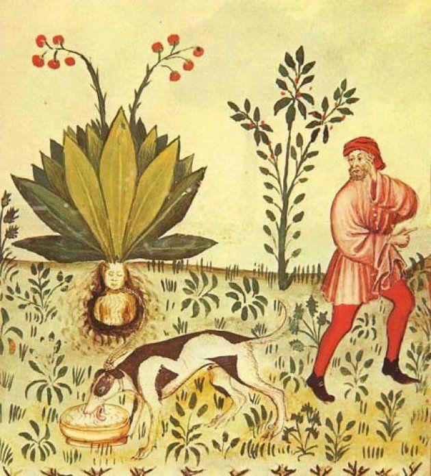 15世紀の「健康全書」に描かれたマンドラゴラ。叫び声から逃れるために犬を使って根を引き抜こうとする様子が描かれている。