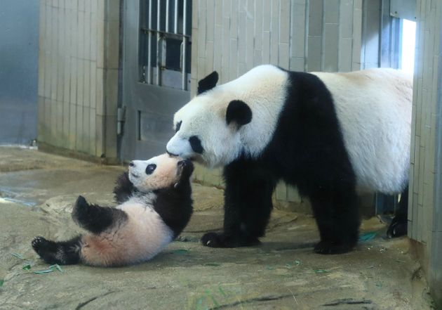 ジャイアントパンダの赤ちゃん、シャンシャン(左、香香)と母親のシンシン(真真)=2017年12月19日、東京都台東区の上野動物園[代表撮影]