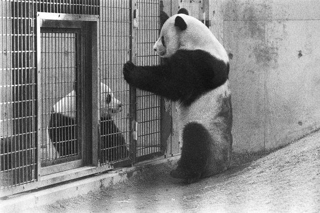 金網越しにじゃれ合うパンダのカンカン(右)とランラン=1976年3月24日、東京都台東区の恩賜上野動物園
