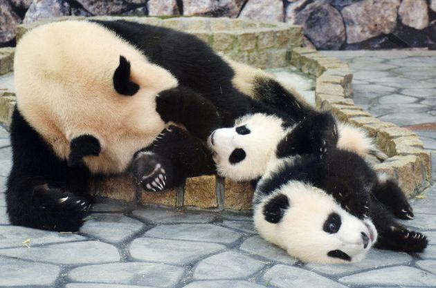 「アドベンチャーワールド」の双子のパンダ、桜浜と桃浜、母の良浜=2015年5月21日、和歌山県白浜町
