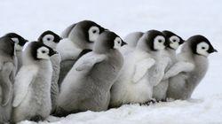 赤ちゃんペンギンは、みんなで仲良く散歩する【モフモフ画像集】