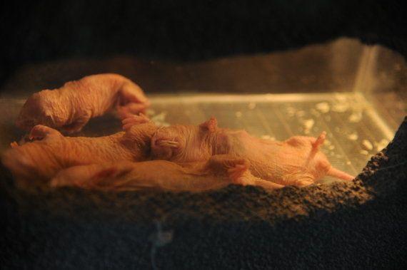 人類の長寿のカギはハダカデバネズミにあるかも 研究者が「謎の能力」に熱視線