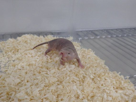 ハダカデバネズミの画像 p1_22