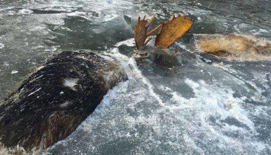 争いは何も生まない。凍結した2頭のヘラジカは氷の下から訴える(画像)