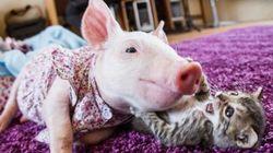 種の壁を越えた。子猫と子豚は親友になった。今とても幸せ(画像)
