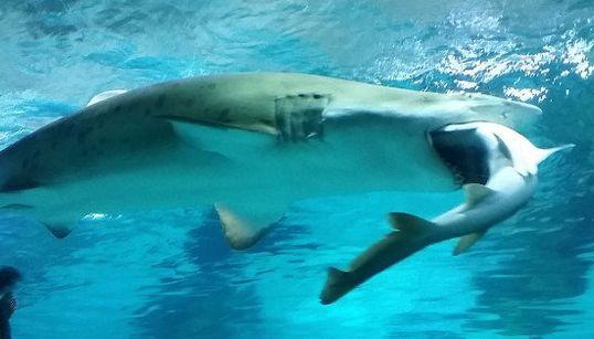 サメがサメをガブリ。今度はソウルの水族館で(画像集)