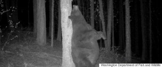 「かいーの」クマが木に背中をこすりつけるのは、生きていくために必要な行動(動画)
