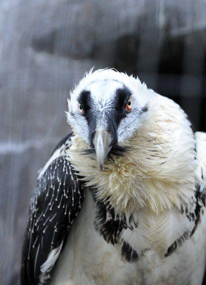 日本最後のヒゲワシが好物の骨をごくり 静岡市立日本平動物園