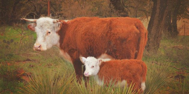 Two miniature herefords standing in a Texas