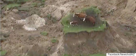 「陸の孤島」から3頭の牛を救出、でも実は...。ニュージーランド大地震