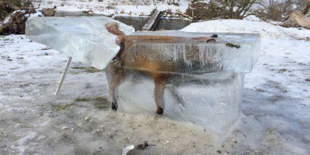キツネがドナウ川で凍結 人類への警告か(画像)