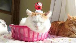 スヤスヤ眠る猫の上で、ダルマがゆ〜らゆら揺れているよ(動画)