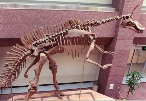 震災で壊れた恐竜、復元へ 愛嬌あるチンタオサウルス