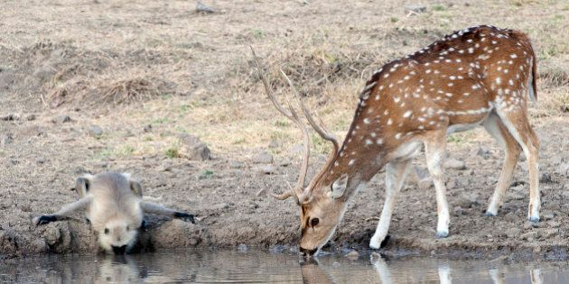 Black-faced Lungour monkey drinks water in unison with a Chital spotted deer from a waterhole in which...