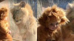 ライオンの着ぐるみを着た赤ちゃん、本物と出会う【癒し動画】