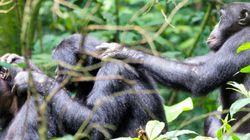 類人猿も40歳前後で老眼になる 京大がボノボで研究
