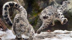 ユキヒョウ親子が追いかけっこ。躍動するモフモフがヤバい(写真)