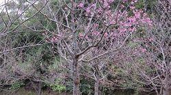 奄美大島でサクラ咲く 全国で今季初の開花