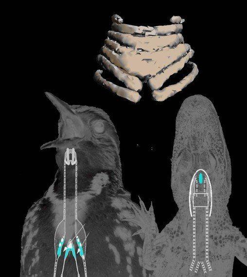 白亜紀の鳥類発声器