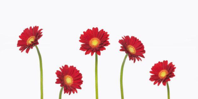 Five Red Gerbera