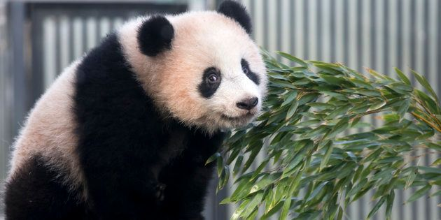 TOKYO, JAPAN - FEBRUARY 01: Giant panda cub Xiang Xiang plays on a tree at Ueno Zoological Gardens on...