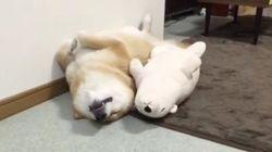 ぬいぐるみと全く同じポーズで眠る柴犬がいた(画像)