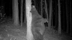クマが真夜中に、すっごく気持ちよさそうに背中をこすってるんですけど(動画)