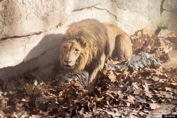 ネオナチの男性、ライオンの群れに飛び込む 何をしたかったのか?【画像】