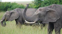日本におけるインターネットでの象牙取引、最新報告書発表