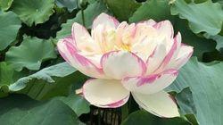 継承する京都・巨椋池のハス/「攪乱」が持続可能性の鍵