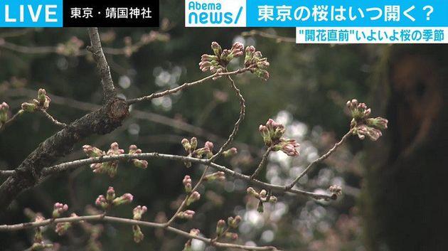 東京の桜の開花日はいつ?