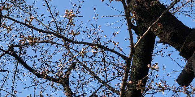 東京の桜が開花。ところで、気象庁のいう