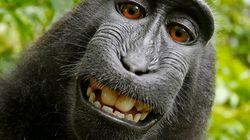 「サルに著作権ない」