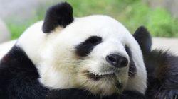 パンダはかわいがってもらいたくて妊娠したふりをした