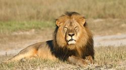 ジンバブウェで殺されたライオンと南アで殺されるために繁殖させられているライオンたち