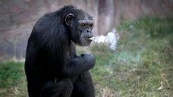 北朝鮮のタバコを吸うチンパンジー 倫理的に許されるのか(画像)