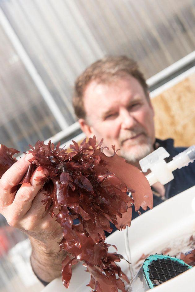 北欧の海藻「ダルス」は、500億円市場になる可能性を秘めたスーパーフード