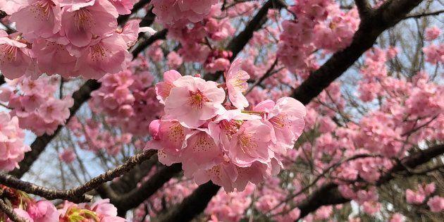 桜、満開になりました。花見客で上野公園にぎわう