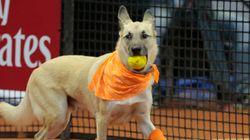 保護された犬たちが、テニスの「ボールドッグ」になったよ(動画)
