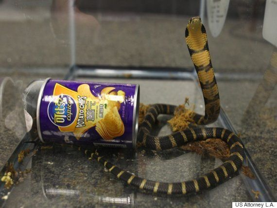 ポテチの容器にキングコブラが入っていた。密輸容疑で男逮捕